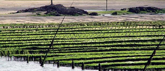 La baie de Dakhla abritera bientôt une unité d'élevage d'ormeaux