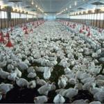 Pourquoi les éleveurs de volaille craignent-ils la chaleur ?