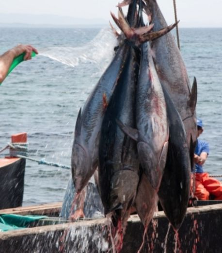 Les quotas de thon rouge en Méditerranée en légère hausse pour 2013-2014