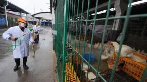 grippe-aviaire-chine