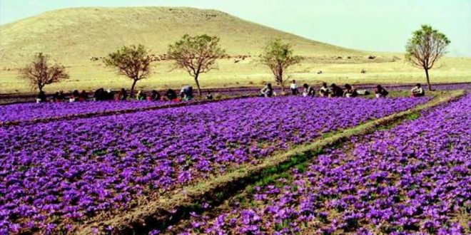Maroc-Safran : Taliouine fête son or rouge