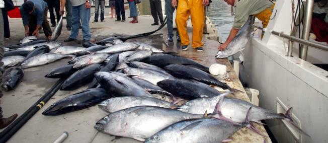Le Japon compte réduire les captures de jeunes thons