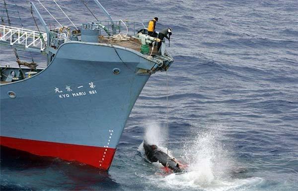 Les Japonais déçus par l'interdiction de leur flotte baleinière dans l'Antarctique