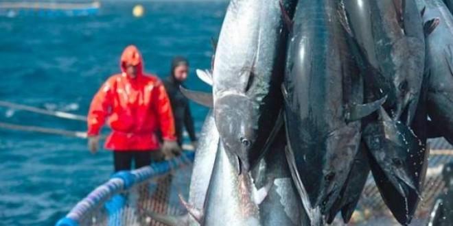 ICAAT/Thonidés : L'Algérie épuise avant termes, son quota de 243 tonnes