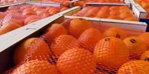 Maroc-agrumes-production