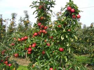 Maroc-Pommes-Production