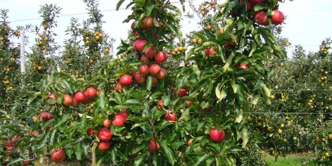 Le Maroc produit près de 600.000 T de pommes par an