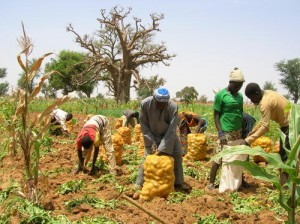 Le Sénégal gèle les importations de pomme de terre