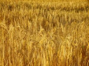 Céréales : Une bonne moisson attendue au Maroc
