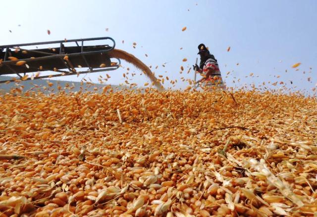 Maroc: Record historique de la récolte céréalière en 2014-2015