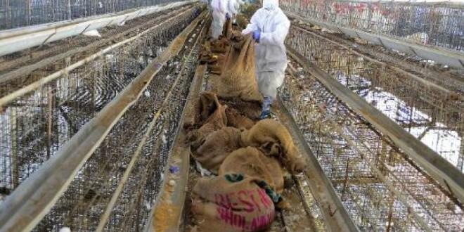 Grippe aviaire: Le Maroc interdit l'importation de volaille d'Europe