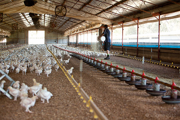 Aviculture: Zalagh Holding ouvre son capital au groupe Seaboard