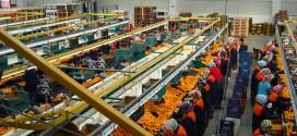 Les USA suspendent provisoirement leurs importations d'agrumes marocains