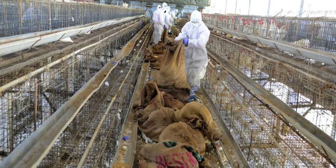 La grippe aviaire et la salmonelle fait paniquer les aviculteurs et la FISA rassure