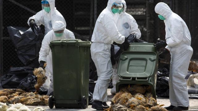 Grippe aviaire: Le Maroc suspend l'importation de France de la volaille et dérivés
