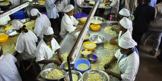 Côte d'Ivoire : Les producteurs d'anacarde se plaignent de l'informel