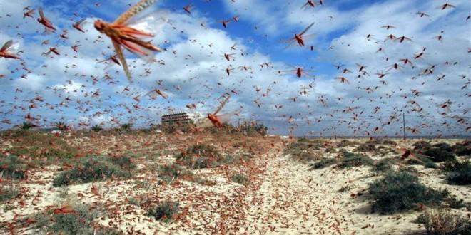 Alete de la FAO contre une probable invasion acridienne au Maroc