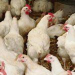 Maroc: Une flambée anormale des prix de la volaille