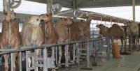 Journée d'information à Laâyoune sur la qualité des produits camelins