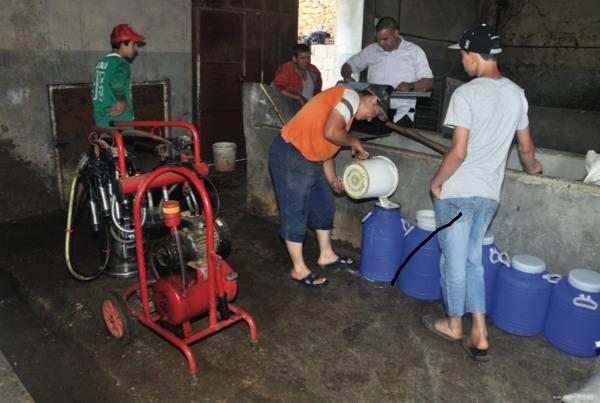 Maroc-élevage: Une charte Qualité du lait pour remettre de l'ordre dans la filière