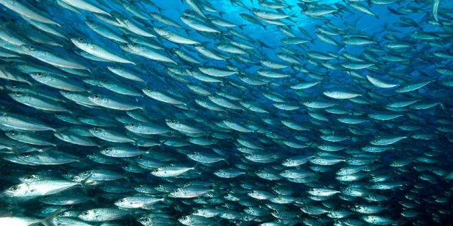 Les sardines en Méditerranée victimes d'un plancton de mauvaise qualité