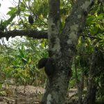 Côte d'Ivoire: Des milliers d'hectares de cacaoyers décimés par une chenille dévastatrice