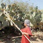 Sidi Ifni: La commune de Sbouya organise son 1er festival de la figue de barbarie