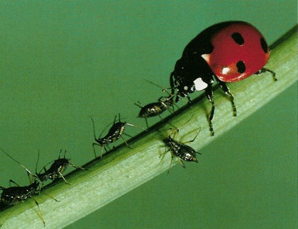 Le Maroc un des principaux importateurs d'insectes auxiliaires d'Espagne