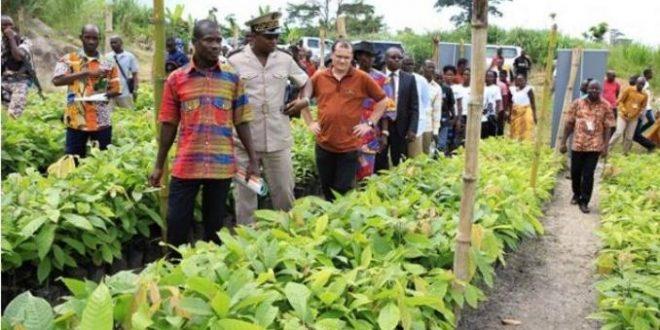 Guinée: Distribution de 10.000 plants de cacao «Mercedes» aux cultivateurs