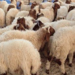 La peste des petits ruminants fait ses premières victimes en Tunisie