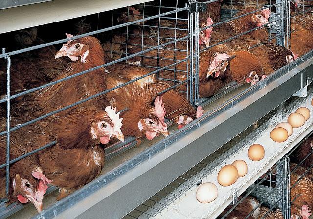Les Marocains ont consommé une moyenne de 160 œufs en 2015
