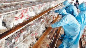 grippe-aviaire-avp