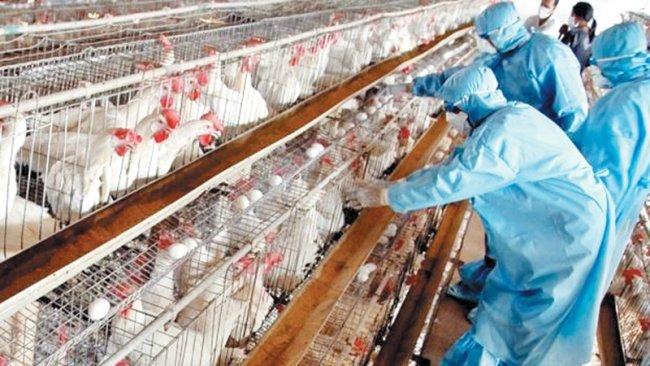 Volaille: L'APV dément l'apparition de foyers de la grippe aviaire au Maroc