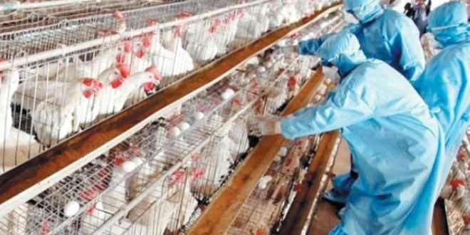 Grippe aviaire: Réapparition du virus H9N2 dans des élevages marocains