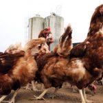 Maroc-Volaille: La FISA rassure sur la salubrité des produits avicoles