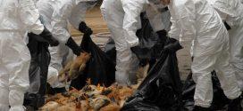 L'OMS décrète un état d'alerte «élevé» contre la grippe aviaire