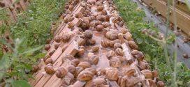 L'escargot marocain très prisé en Espagne pour son prix et sa qualité