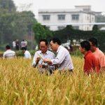 La Chine développe une variété de riz résistante aux maladies et aux insectes