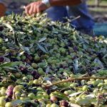 L'olivier gagne du terrain au Maroc Oriental