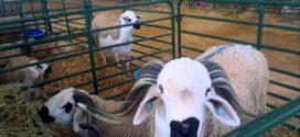 Maroc-élevage : Le 1er Salon national professionnel du Sardi fin mars à Settat