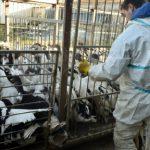 La grippe aviaire en Espagne met en alerte les autorités sanitaires au Maroc
