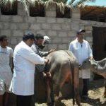 Le Maroc se mobilise contre la fièvre aphteuse bovine qui sévit en Algérie