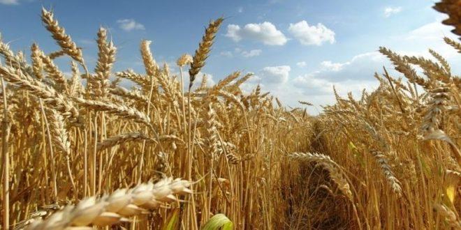 Le Maroc relève la taxe d'importation du blé tendre de 30 à 135 %