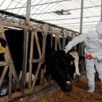 Mobilisation au Maroc contre la fièvre aphteuse réapparue en Algérie