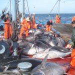L'Algérie a épuisé en juin la totalité de son quota de thon rouge de 2017