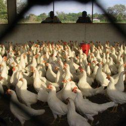 Aviculture: Les éleveurs sénégalais appelés à faire preuve de compétitivité