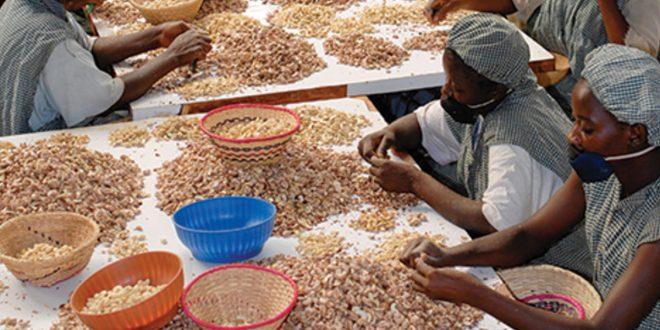 La Côte d'Ivoire souhaite optimiser les revenus de la filière de la noix de cajou