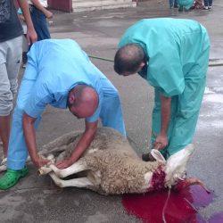 Maroc-Aïd Al Adha : L'étau se resserre contre les fraudeurs dans l'engraissement des moutons