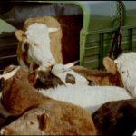 Deux Irlandais condamnés pour exportation de 120 vaches malades au Maroc