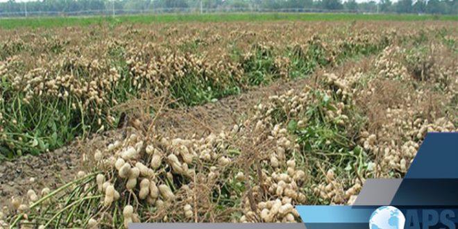 Sénégal: La Région de Thiès a produit 87.000 tonnes d'arachide en 2018